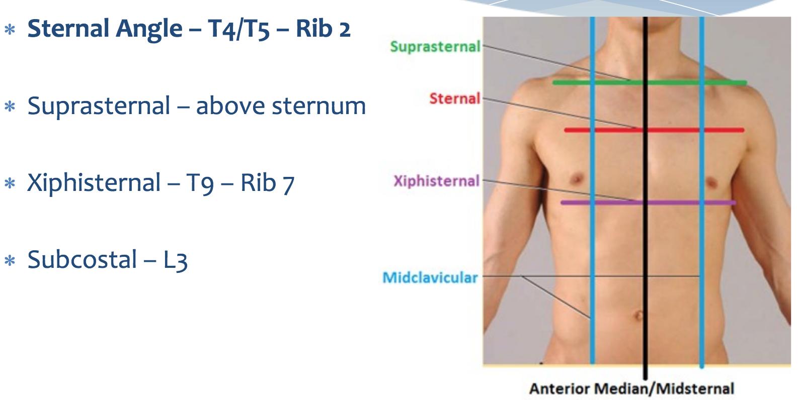 thorax main (learn thorax anatomy in order ) Flashcards | Memorang