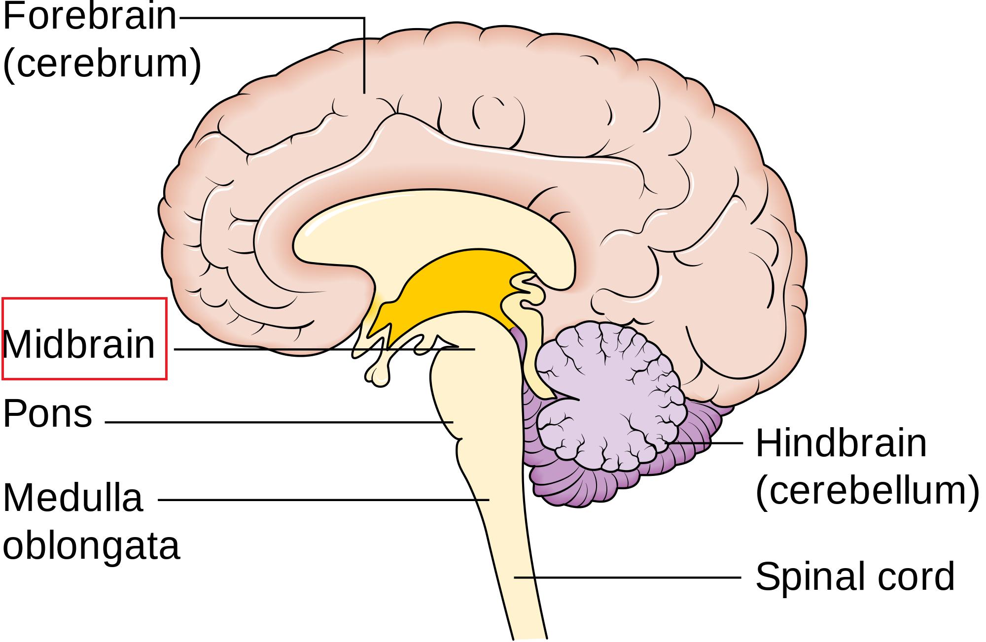 Organization and Anatomy of the Brain (MCAT 2018: Biology ...