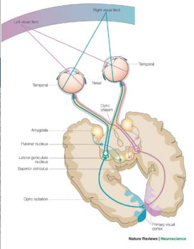 Retinotopy and more (Terms from NeuroAnatomy-The Visual Pathway ...