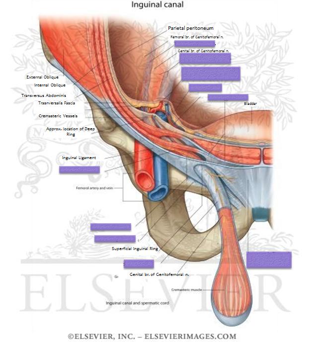 Lecture 1 Pelvic Bowl Gross Anatomy Unit 8 Flashcards Memorang