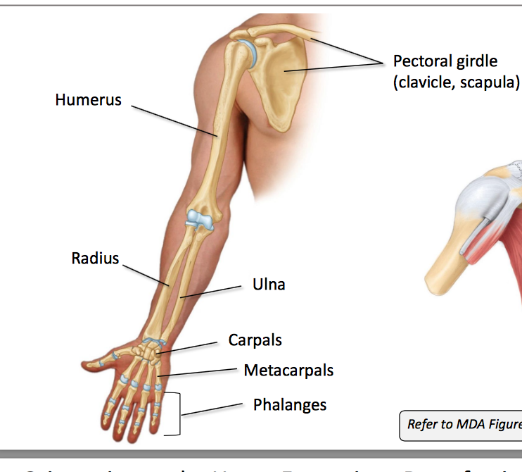 Anatomy GS10 UE Unit 10 (Terms from Anatomy unit 10) Flashcards ...
