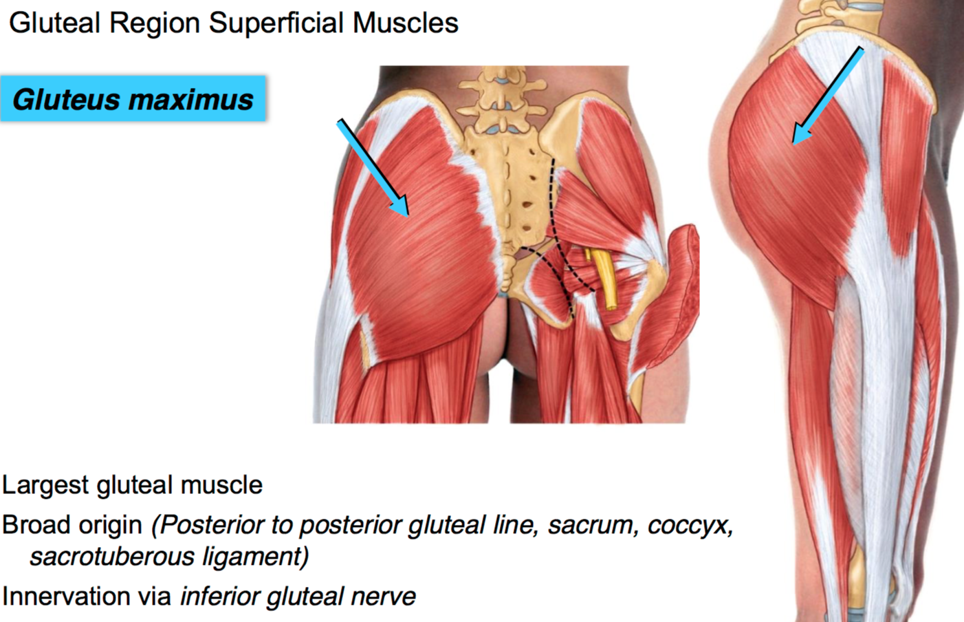 Gs G38 Gluteal Region Anatg Unit 5 Flashcards Memorang