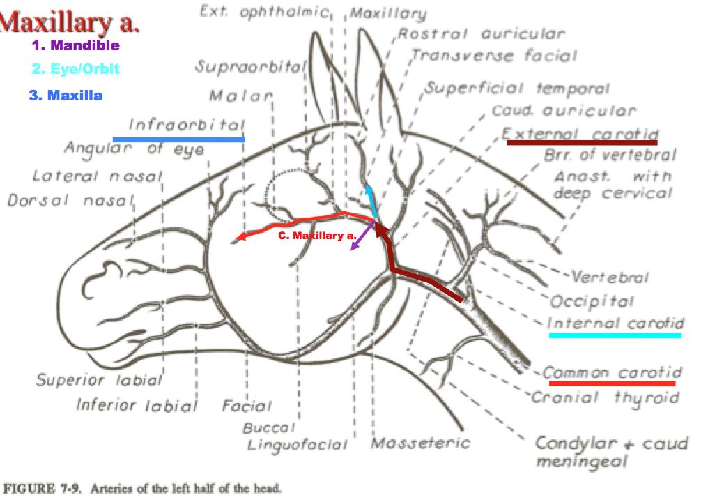 Amazing Horse Skull Anatomy Festooning Human Anatomy Images