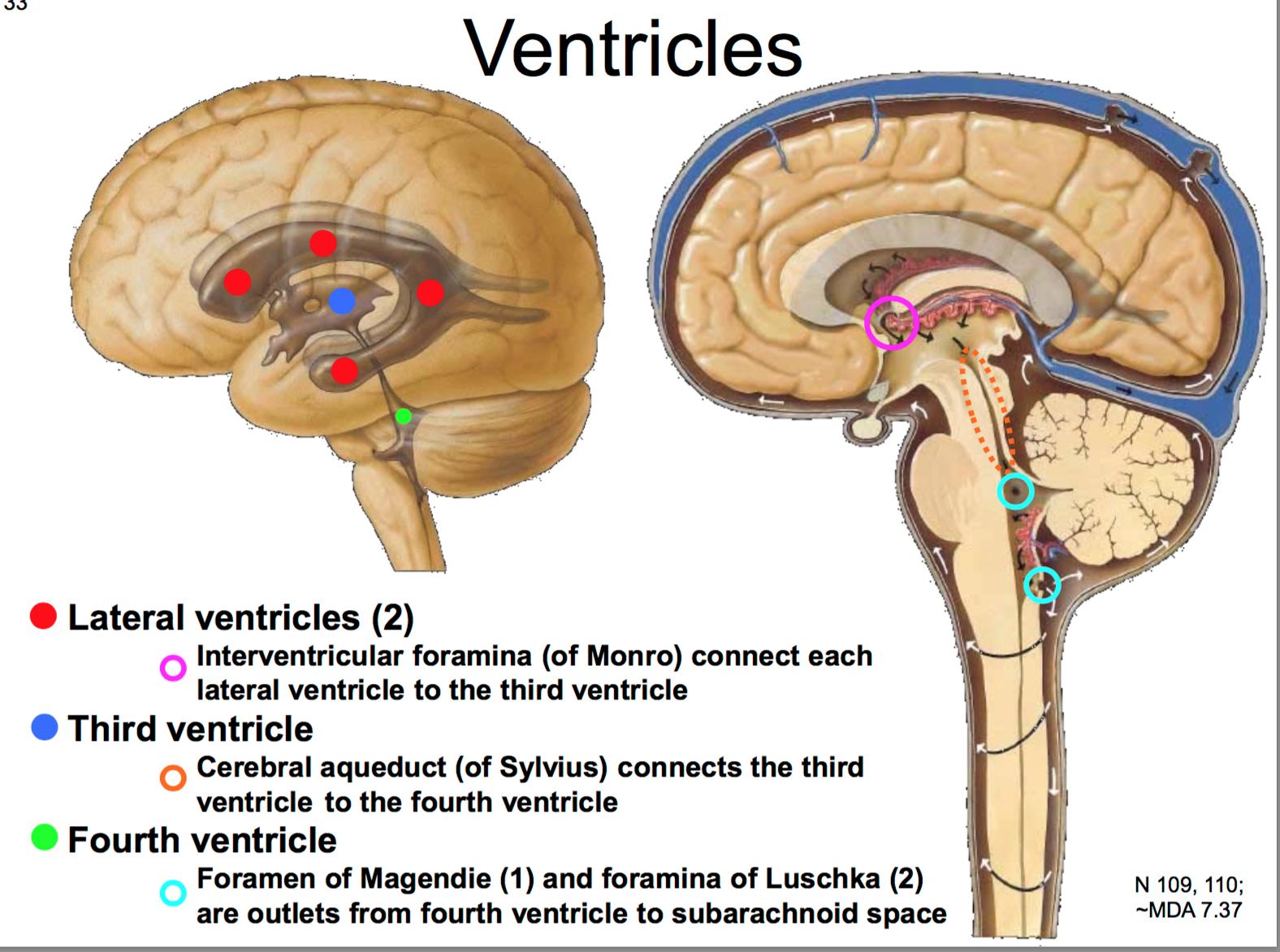 26. Anatomy G56 Brain, Dura, & CNS Blood Supply Flashcards | Memorang