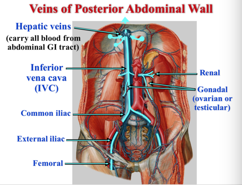 Vascular Patterns of the Abdomen (Lecture#2) (Gross Anatomy ...