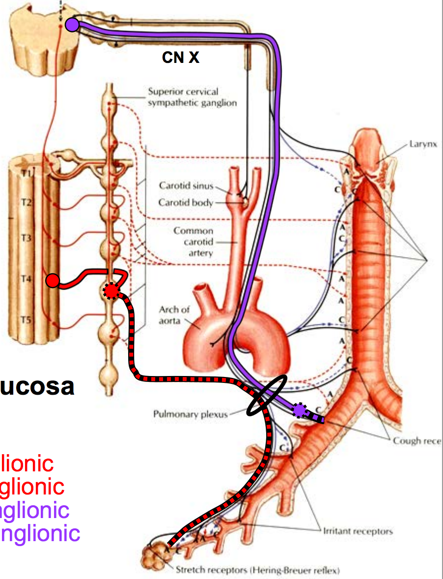 Anatomy GS24 Visceral Innervation of the Thorax (Terms from GS G24 ...