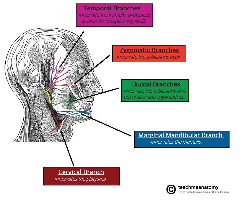 amit's anatomy (anatomy) flashcards | memorang, Cephalic Vein