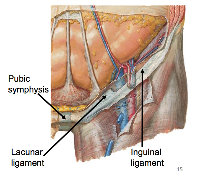 Lacunar Ligament