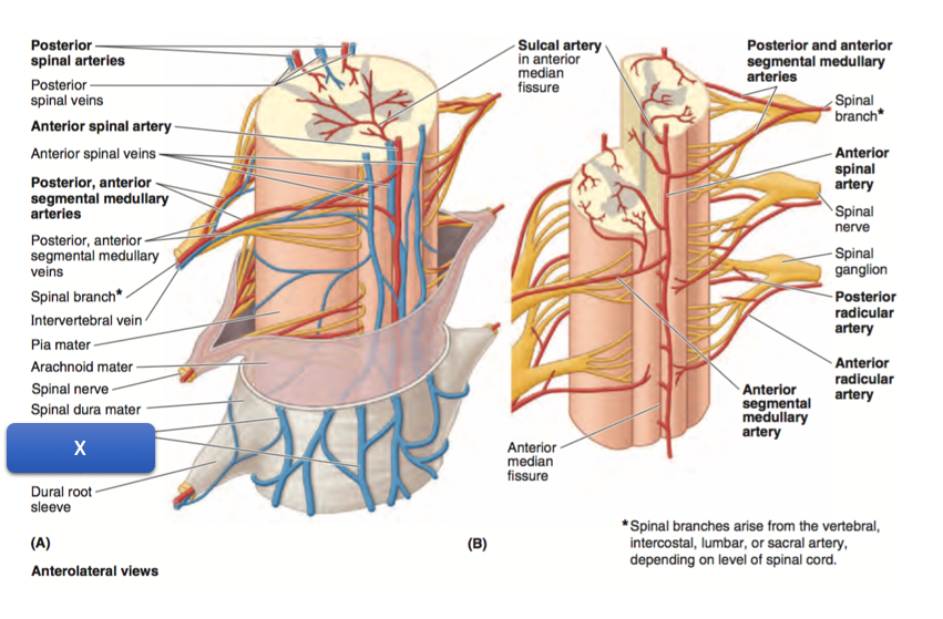 Anatomy 1 Week 3 Quiz 3 Set Z1 (Muscle/veins of Back) Flashcards ...