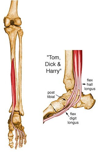 runs from medial part of posterior surface of tibia (inferior to soleal line)  to