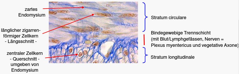 Histo 6 - Muskelgewebe I (Histologie) Flashcards | Memorang