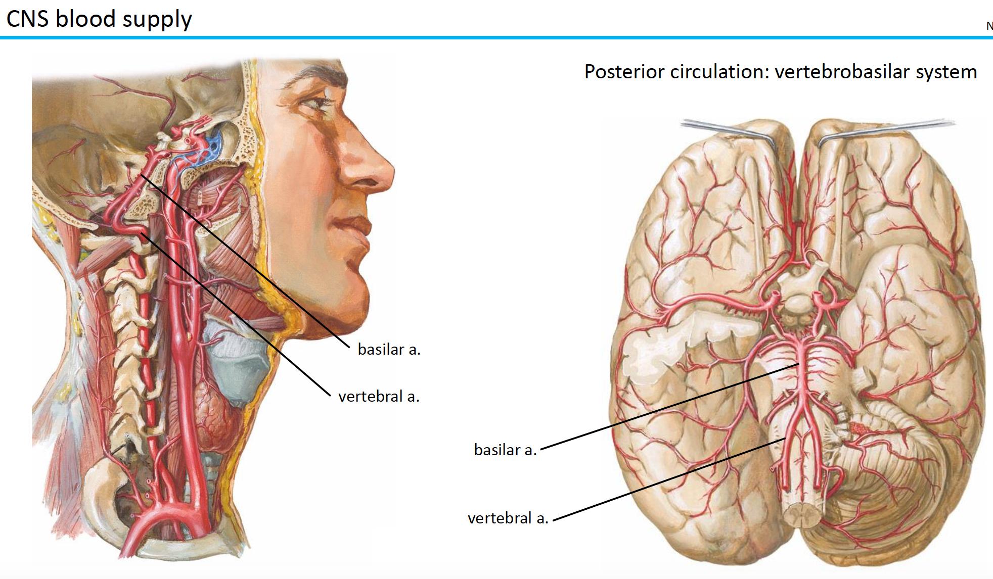 Neuroscience L1-2 Introduction to Functional Neuroanatomy ...
