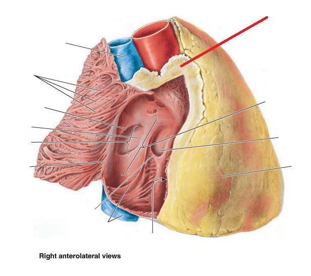 Anatomy 2 Mediastinum And Adult Heart Cpr I Flashcards Memorang