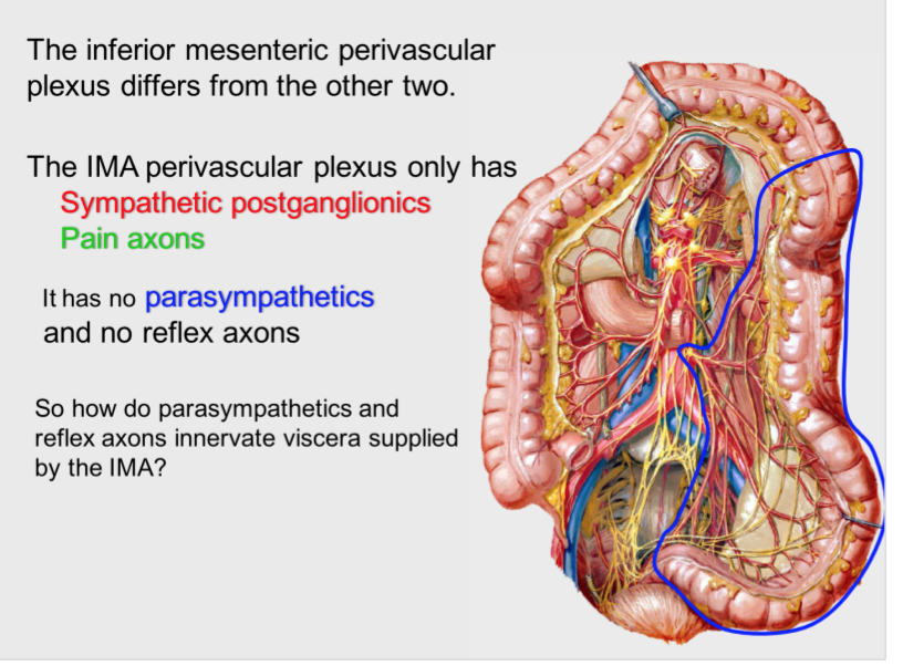 Ans Abdomen Gross Anatomy Flashcards Memorang