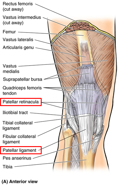 1.06 - Anterior & Medial Thigh + Knee Joint (Anatomy) Flashcards ...