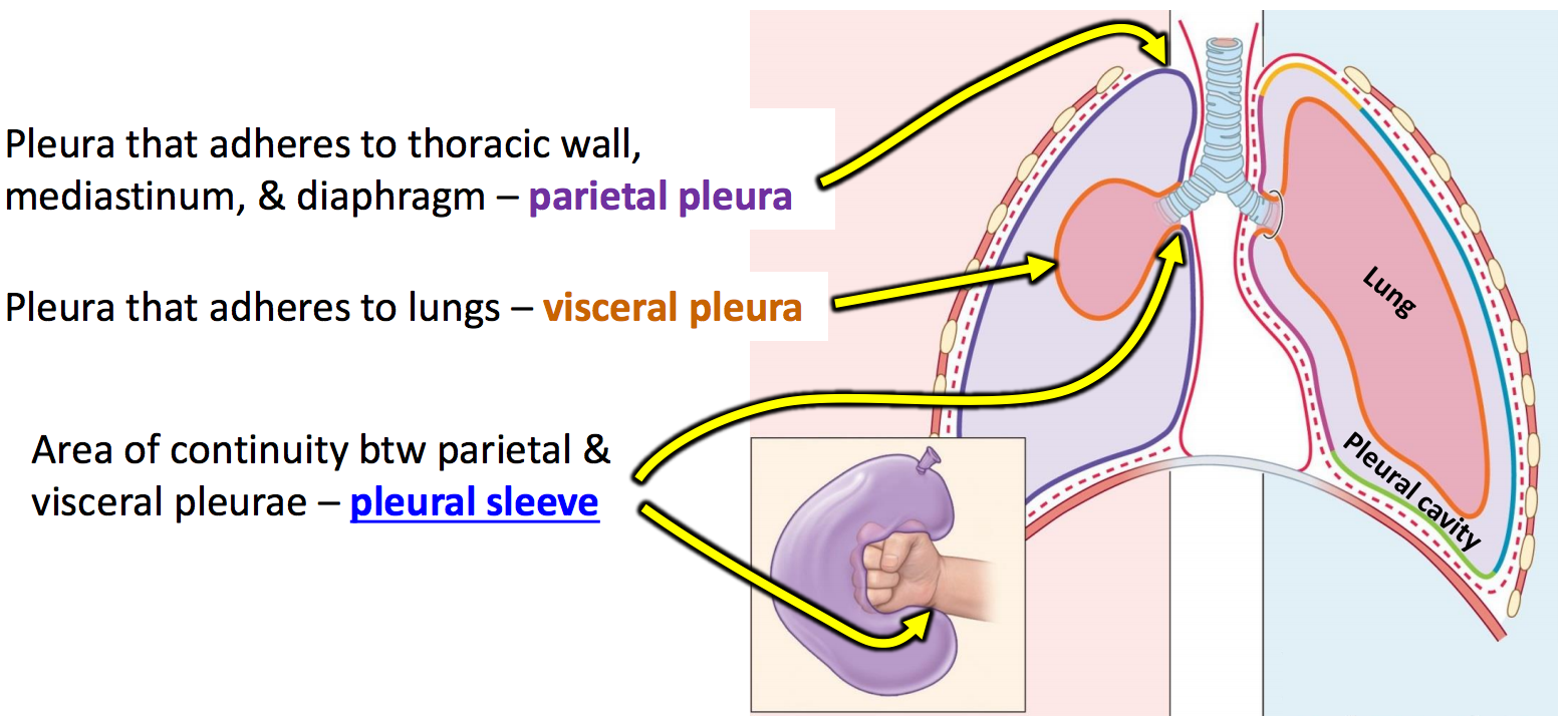 List of Synonyms and Antonyms of the Word pleura