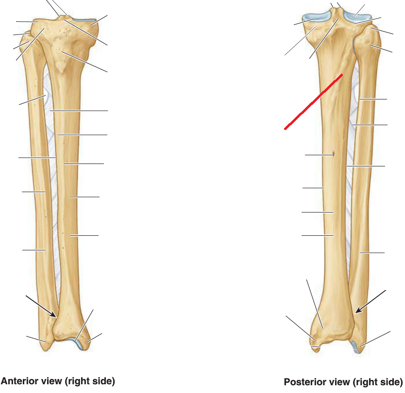 anatomy 15 anterior, lateral and posterior leg; foot (msk iiTibia Soleal Line Diagram #17