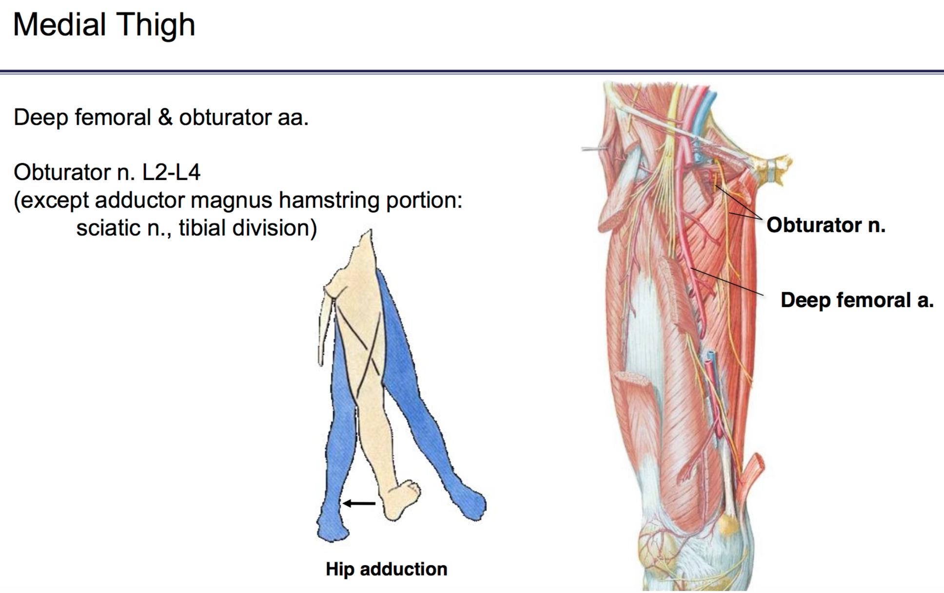 Fg Anatomy G44 Anterior And Medial Thigh Part 2 Anatomy Unit 6