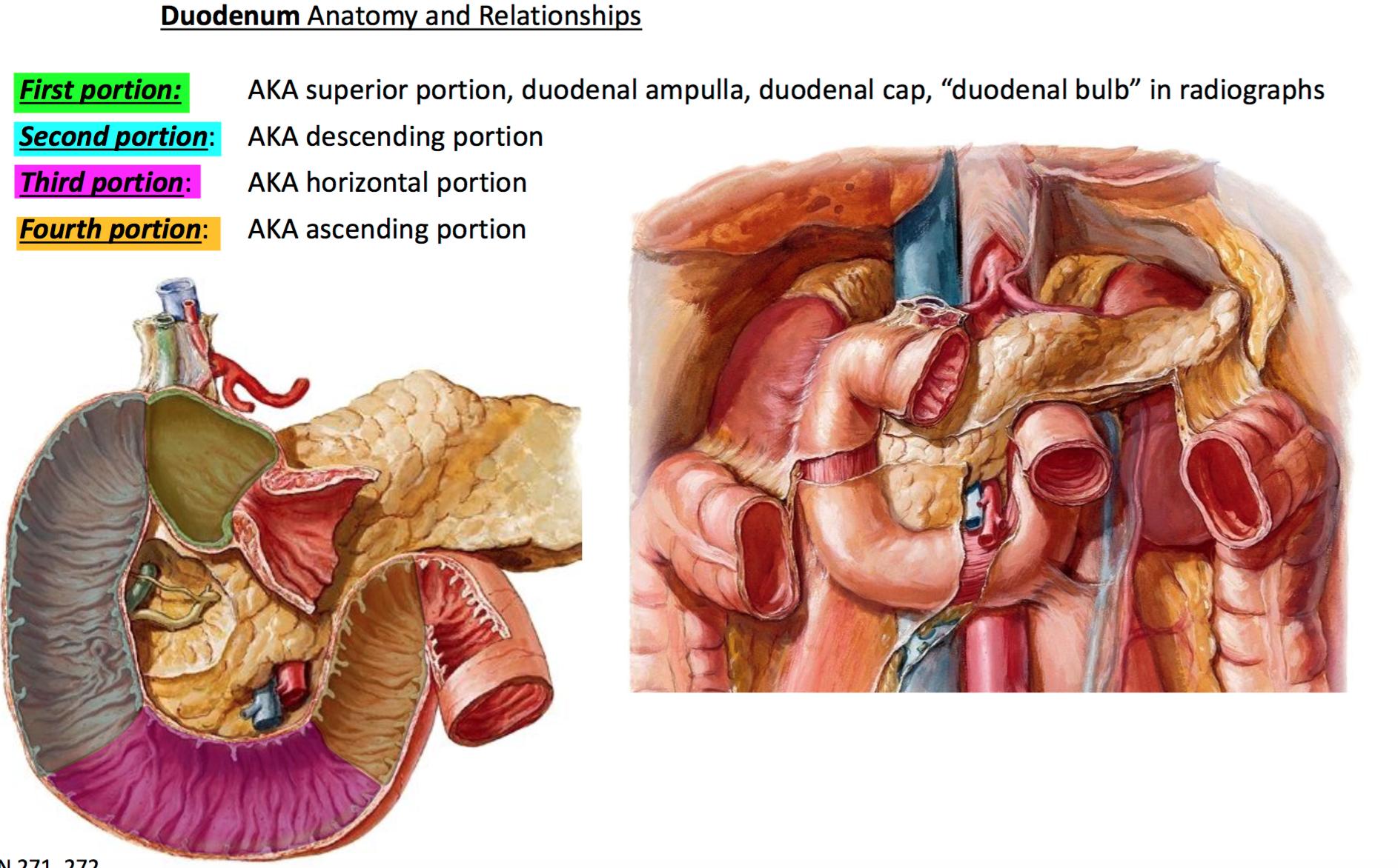 Fantastic Duodenal Bulb Anatomy Images - Human Anatomy Images ...