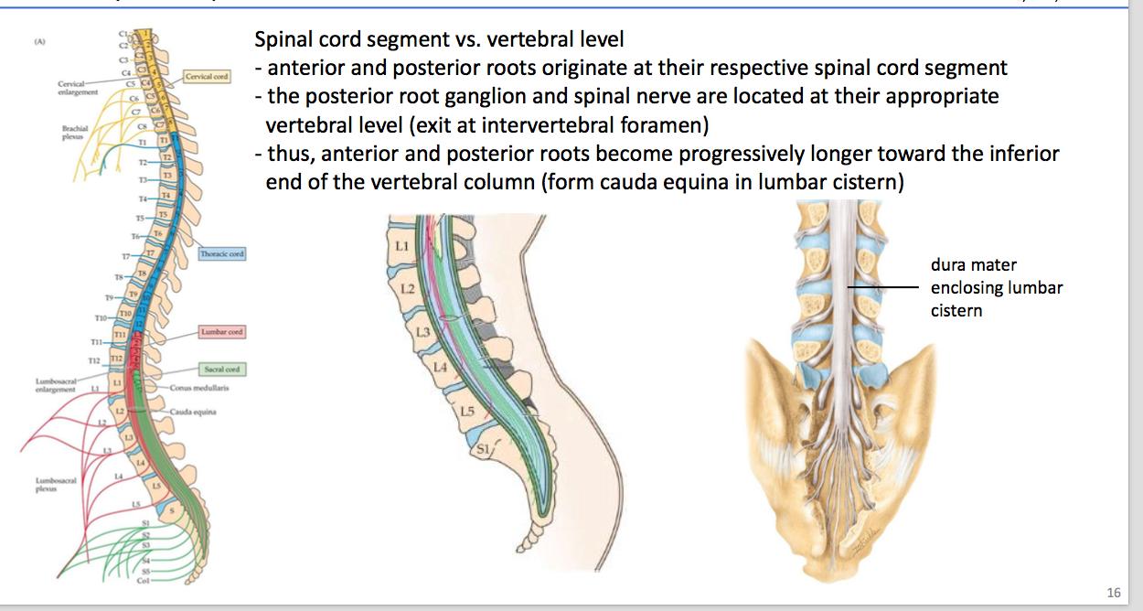 Enchanting Intervertebral Foramen Anatomy Sketch - Internal organs ...