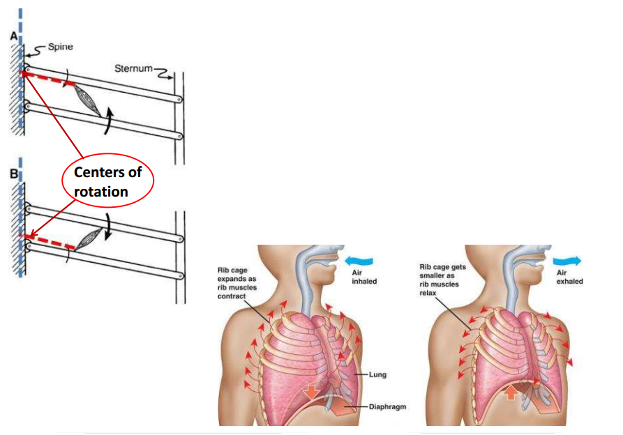 Thoracic Wall And Pleura Flashcards Memorang