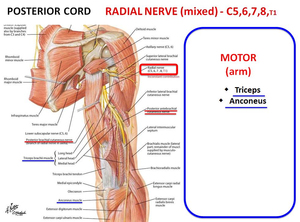 Innervation Of Upper Extremity Gross Anatomy Flashcards Memorang