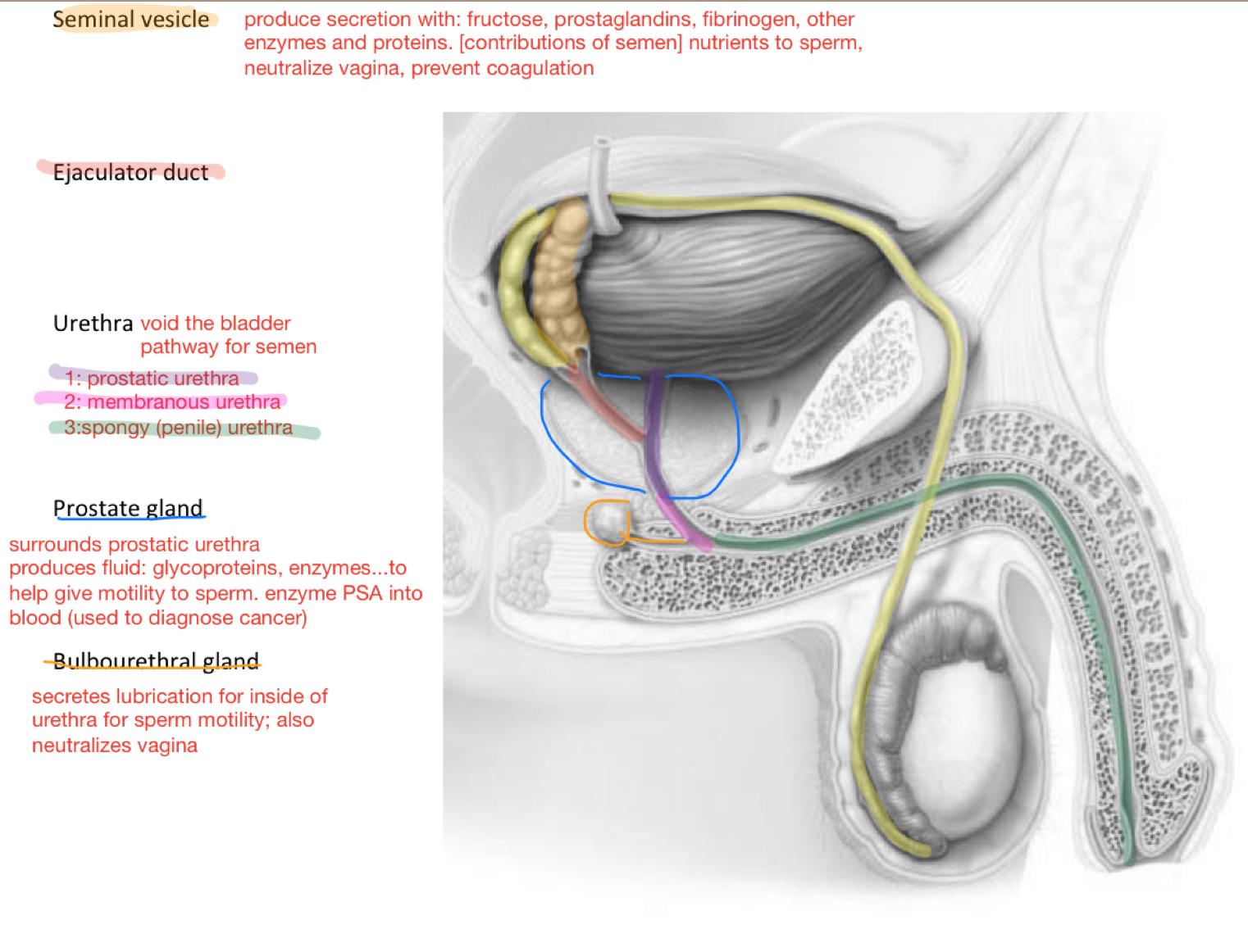 Week 10 - Male Reproductive System (Anatomy) (Phase 1) Flashcards ...