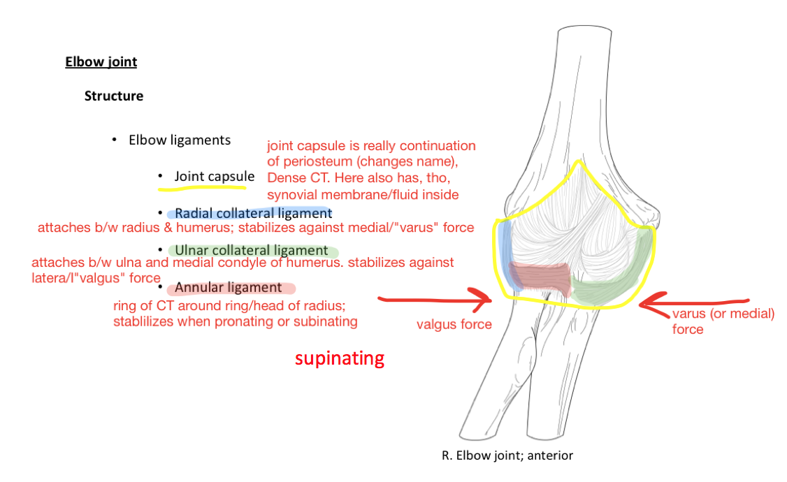 Week 15 Glenohumeral Joint Elbow Anatomy Phase 1 Flashcards