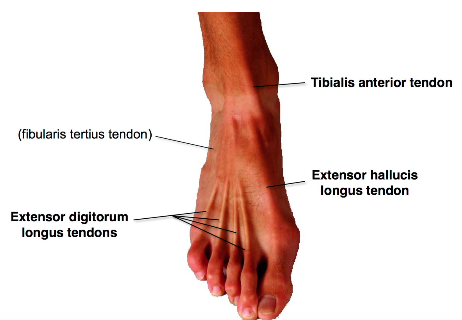 Surface Anatomy Foot Gallery - human body anatomy