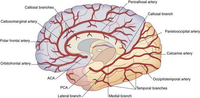 Cerebral Cortex Neuroanatomy Flashcards Memorang