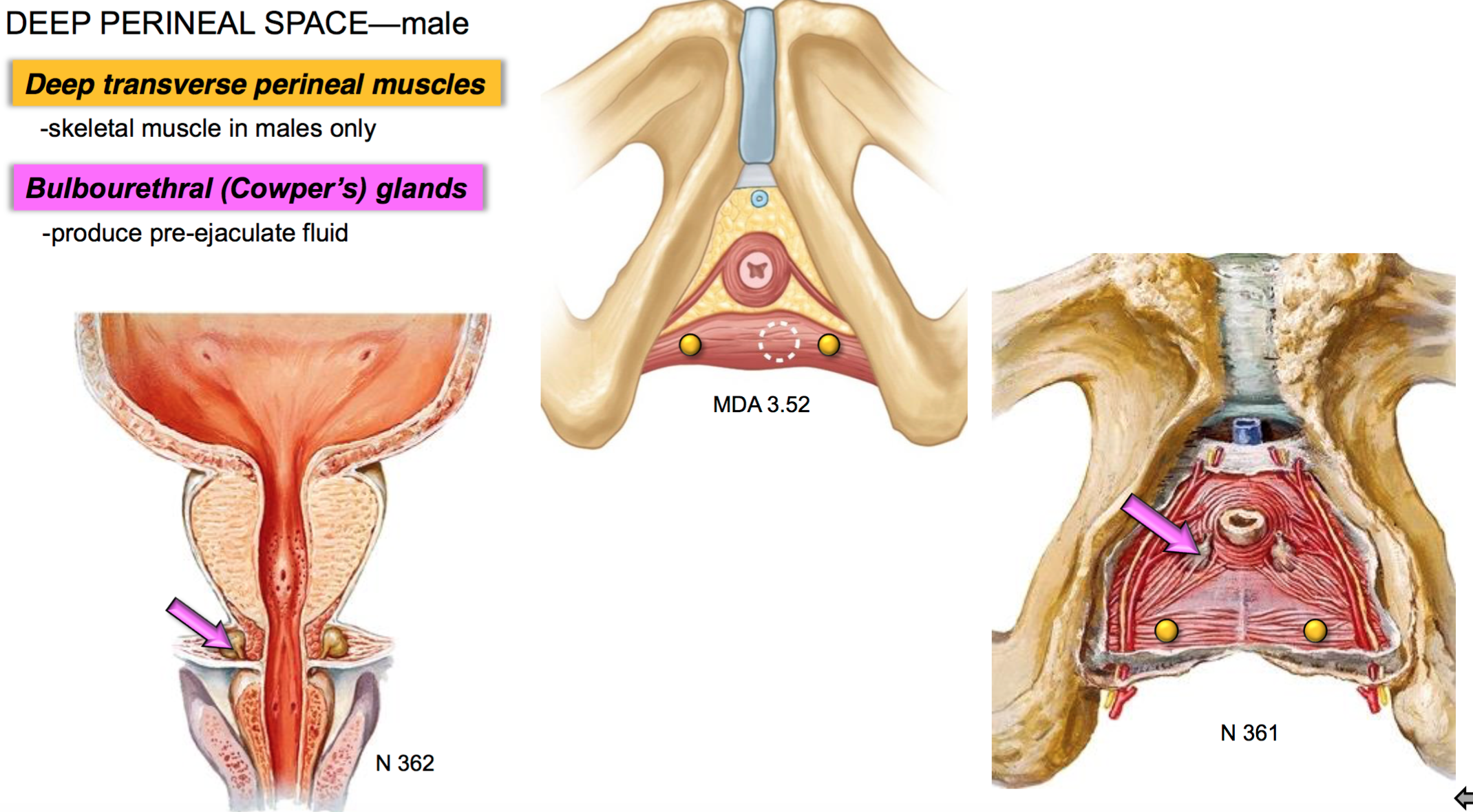 GS G40 Perineum II (Anatomy Unit 5) Flashcards | Memorang
