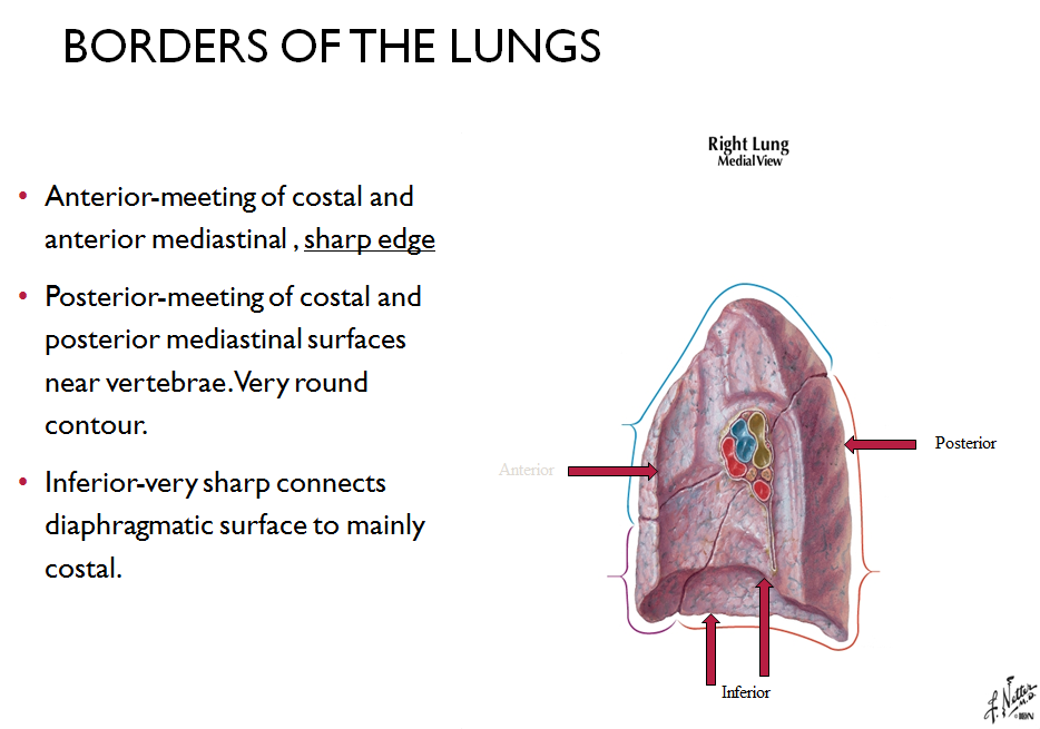 Lecture 5 Lungs And Pleura Gross Anatomy Unit 5 Flashcards Memorang