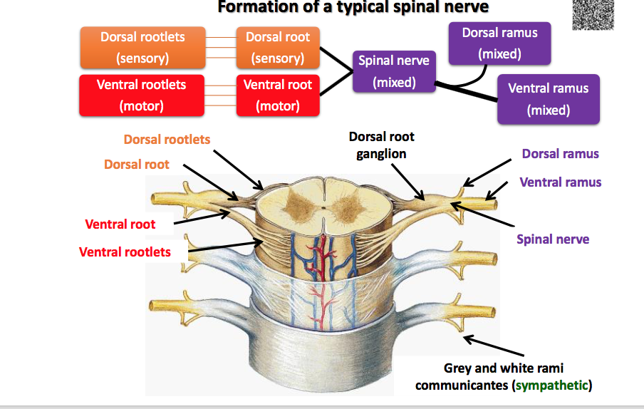 Spinal Nerves Somatic Plexuses Msk Dla Flashcards Memorang