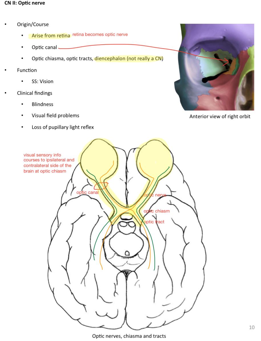 Week 12 - Cranial Nerves (Anatomy) (Phase 1) Flashcards | Memorang