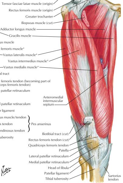 Adductor/Flexor Thigh & Popliteal Fossa (Posterior thigh) Flashcards ...