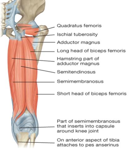 Anatomy (LL): Gluteal Region & Posterior Thigh (Gluteal Region ...