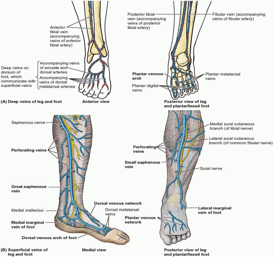 011B - Dorsum and Plantar Aspect of Foot (Anatomy) Flashcards | Memorang