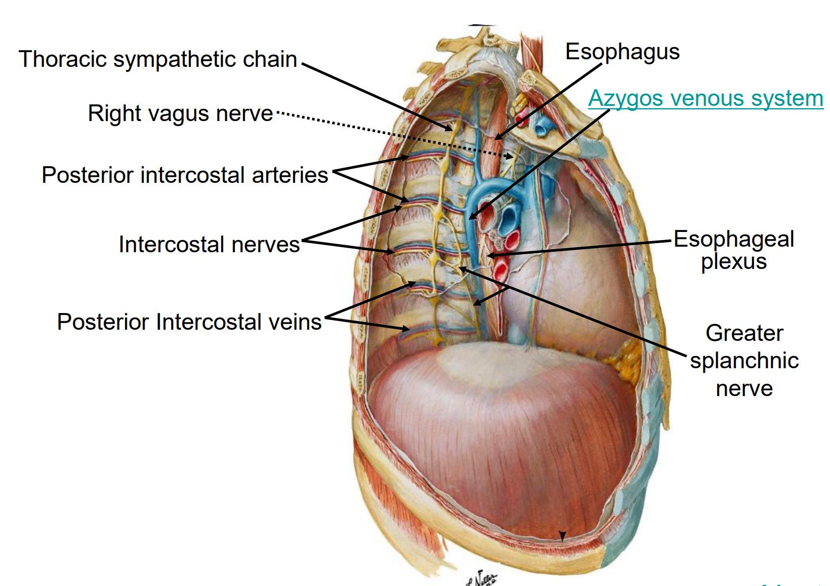 B2W2 - Thoracic Anatomy ID (B2W2 - Thoracic Anatomy ID) Flashcards ...