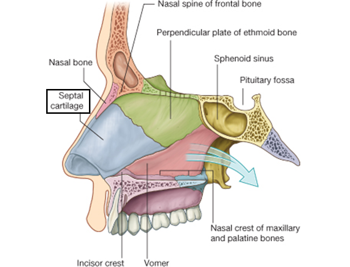 105 Face Oral Cavity Nose Paranasal Sinus Pharynx Neuro