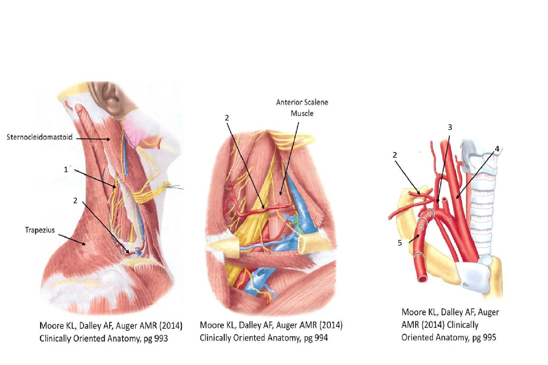 Back, Vertebral Column (Musculoskeletal System Exam 1) Flashcards ...