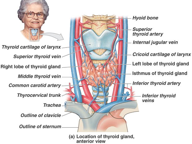 C4t1l40 Physiology Thyroid Gland Taught By Prof Dominguez Rieg