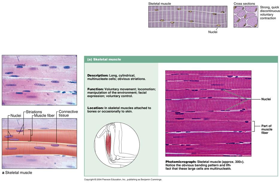 301 Muscle Histology Histology Flashcards Memorang