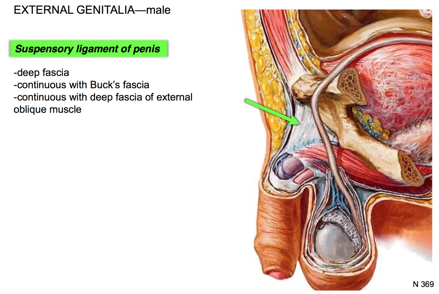 Tolle Suspensory Ligament Fotos - Menschliche Anatomie Bilder ...