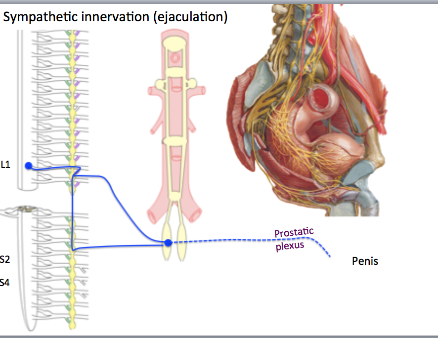 Phase I-Anatomy (Anatomy) Flashcards | Memorang