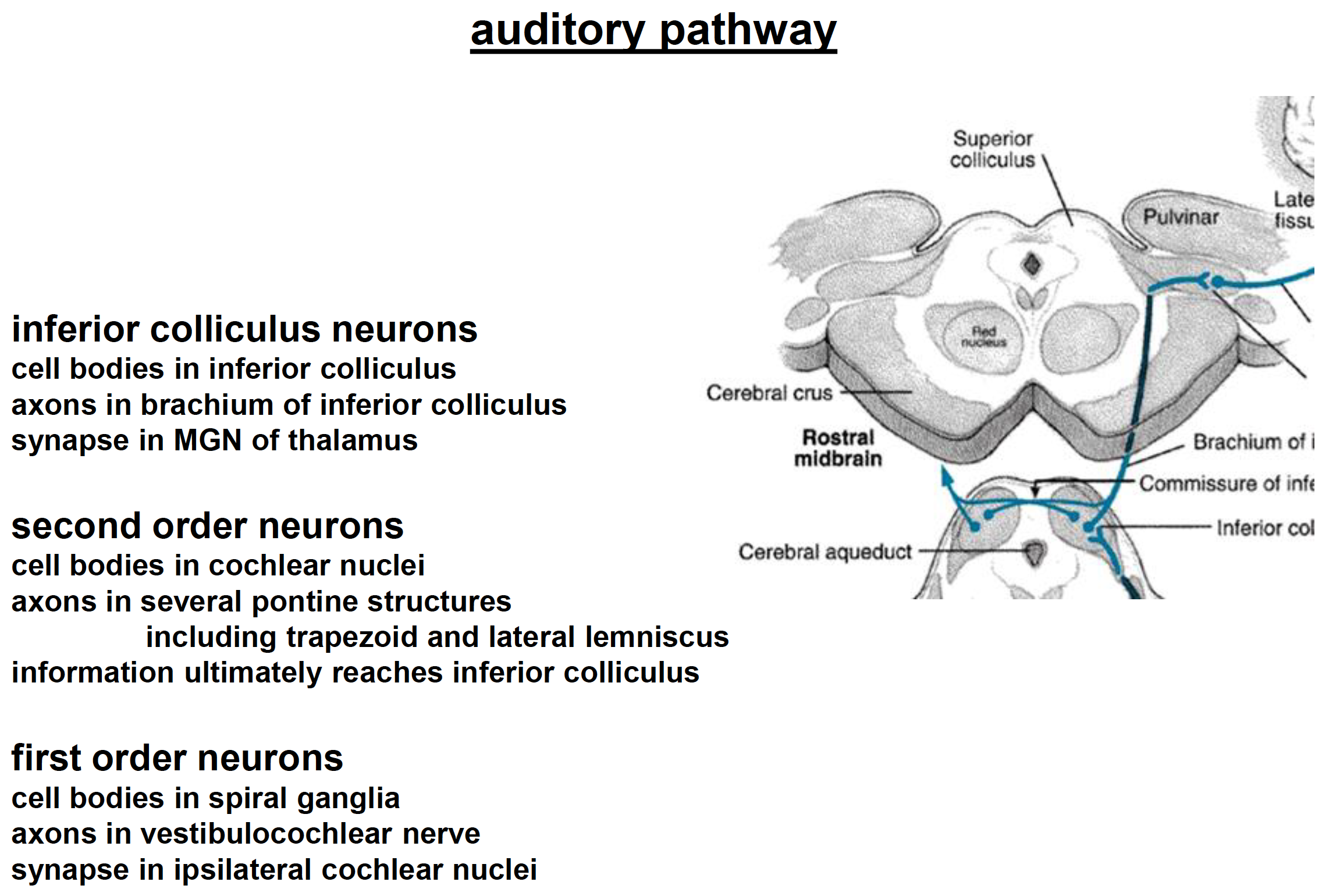 Neuroscience L43-46 Auditory System Part III (Auditory Path ...