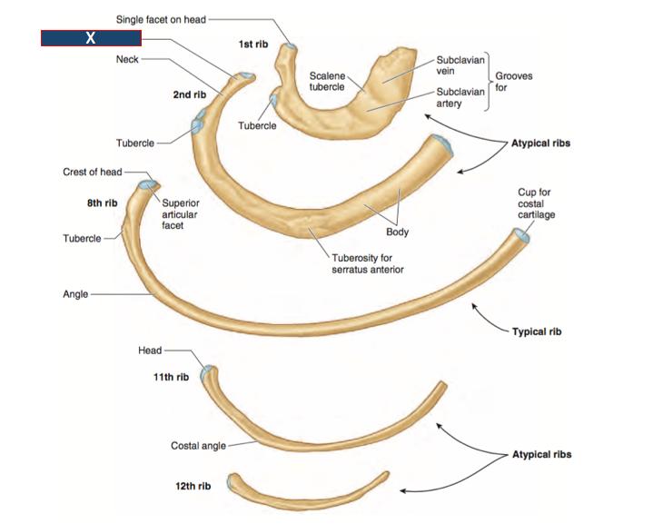 Human anatomy ribs