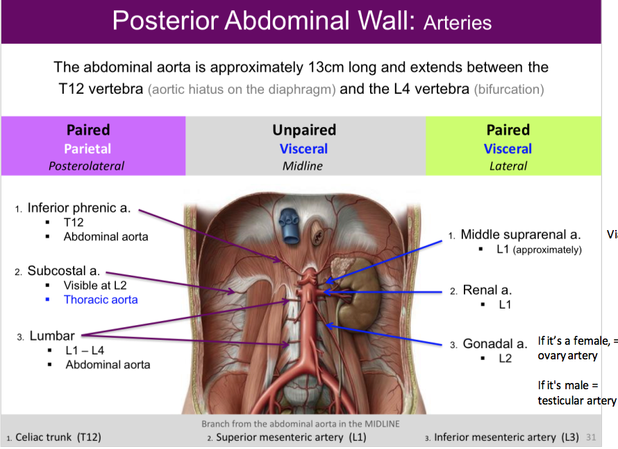 Diaphragm And Posterior Abdominal Wall Anatomy Flashcards Memorang