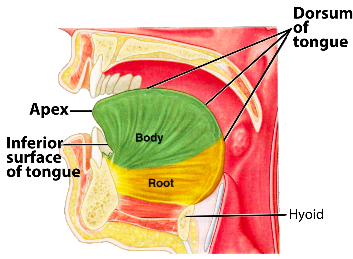 B3w3anoral Cavity Block32015 Anatomy Flashcards Memorang