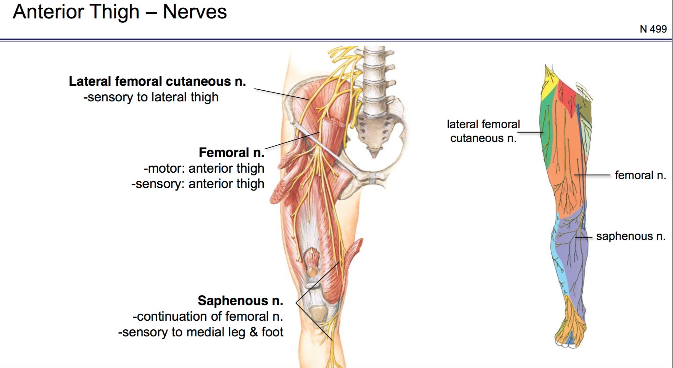 FG Anatomy G44 Anterior and Medial Thigh Part 2 (Anatomy Unit 6 ...
