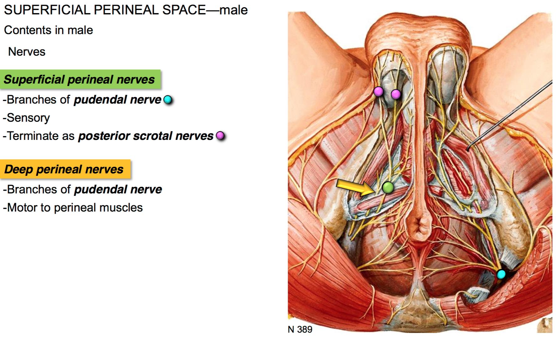 Male Perineum Nerve Diagram - Wiring Diagram •